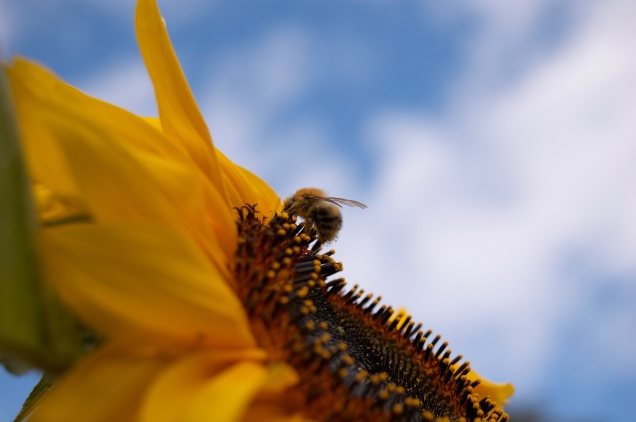 bee_flower_pollination