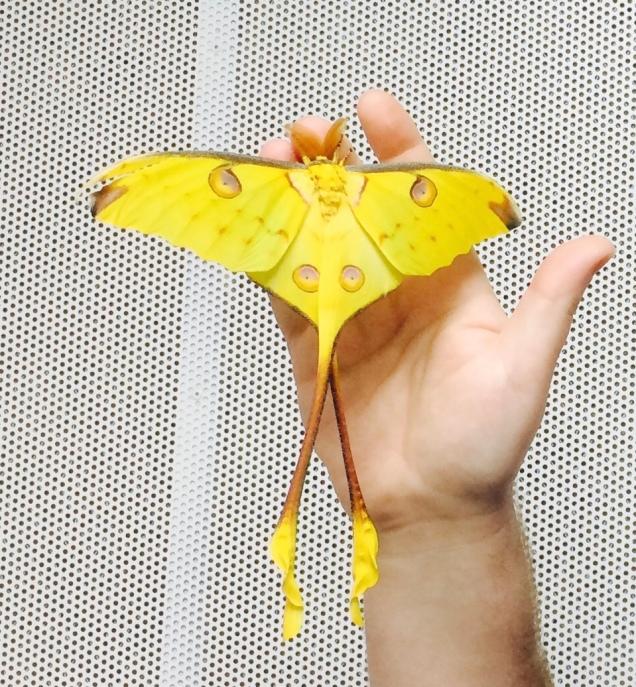 comet_moth_moon_moth